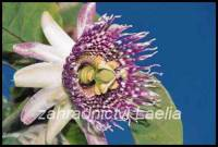 Mučenka  - Passiflora ligularis
