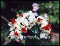 Klerodendron - Clerodendrum thomsoniae
